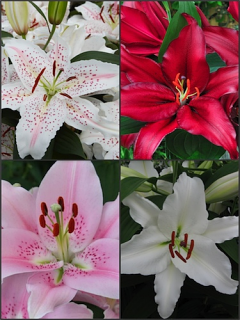 'Oriental' Lily Bulb Collection (Pack of 12 Bulbs)
