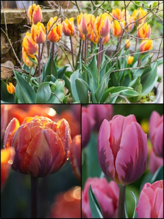 Princess Tulip Collection (Pack of 60 bulbs)