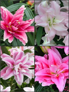 'Roselily' Bulb Collection (Pack of 10 Bulbs)