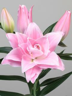 Lily 'Sarah Bernhardt'