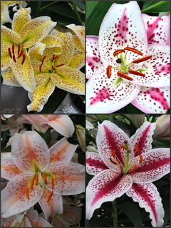 'Stars n Stripes' Lily Bulb Collection (Pack of 12 Bulbs)
