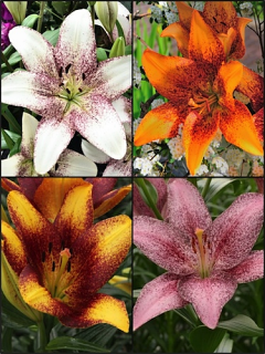 Sugar n Spice Lily Collection (Pack of 12 Bulbs)