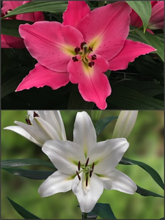 'Pink and White Scented' Lily Bulb Collection (Pack of 10 Bulbs)