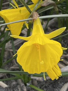 Narcissus 'Casual Elegance'