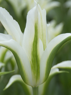 Tulip 'Green Star'