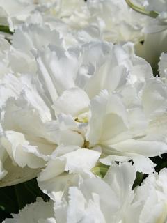 Tulip 'Grobina'