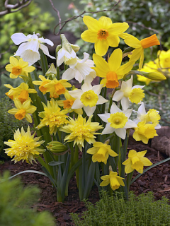Miniature Narcissus Collection