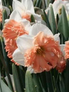 Narcissus 'Night Life'