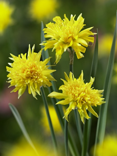 Miniature Narcissus 'Rip Van Winkle' (Pack of 20 Bulbs)