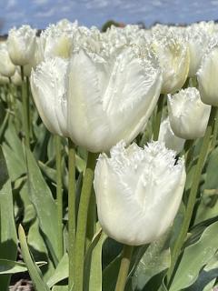 Tulip 'Signature'