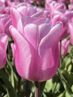 Tulip 'Synaeda Amor'