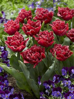 Tulip 'Cranberry Thistle'