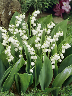 Convallaria Majalis 'Lily of the valley' (Pack of 10)
