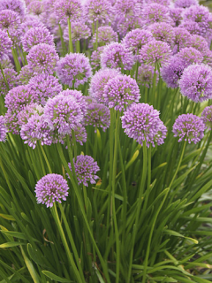 Allium Millenium (Pack of 3 Bulbs)