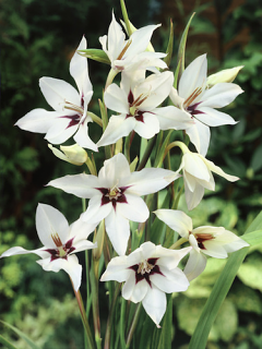Acidanthera Gladiolus Callianthus (Pack 20 Bulbs)