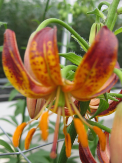 Arabian Night Martagon Lily