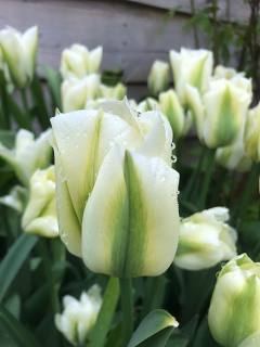 Tulip 'Spring Green' (Pack of 15 Bulbs)
