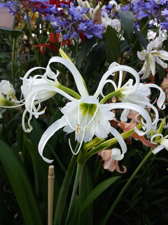 Hymenocallis Festalis - White (Pack 3 Bulbs plus 3 FREE)