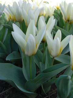 Tulip 'Concerto' (Pack of 15 Bulbs)