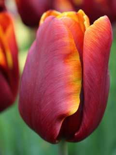 Tulip 'Abu Hassan' (Pack of 15 Bulbs)