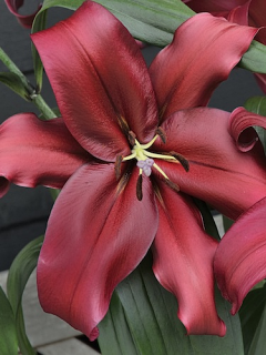Lily 'Formia'