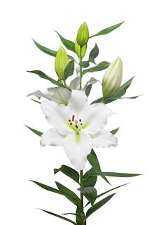 Lily 'Tourega'