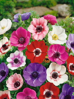 Mixed Anemone De Caen (Pack of 50 Bulbs) | Fantastic Value!