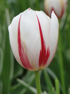 Tulip 'Carnaval de Rio'