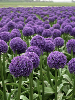 Allium Globemaster (Pack of 3 Bulbs)