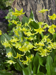 Erythronium Pagoda (Pack of 6 Bulbs)