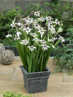 Acidanthera Gladiolus Callianthus (Pack 30 Bulbs) | Great Offer!