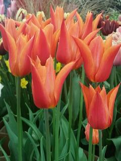 Tulip 'Ballerina' (Pack of 15 Bulbs)