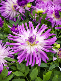 Dahlia 'Mingus Randy' (Pack of 3 Tubers/Bulbs)