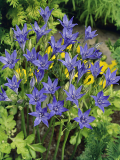 Brodiaea (Pack of 50 Bulbs)