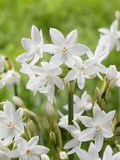 Narcissus Ziva 'Paperwhite' (Pack of 10 Bulbs)