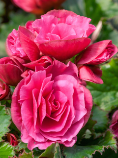 Begonia Double Pink (Pack of 5)