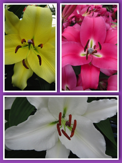 'Giant' Lily Bulb Collection (Pack of 10 Bulbs) + 5 Free Casa Blanca