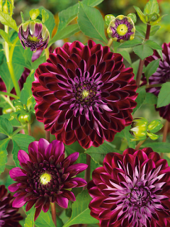 Dahlia 'Osirium' (Pack of 3 Tubers/Bulbs)