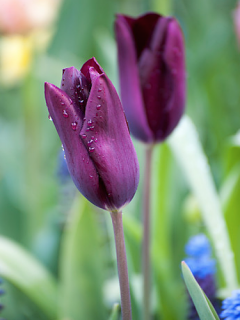 Tulip 'Havran'