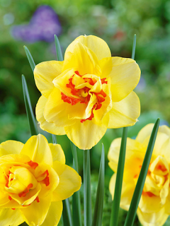 Narcissus 'Tahiti' (Pack of 20 Bulbs)