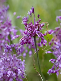 Allium Carinatum Pulchellum (Pack of 5 Bulbs)