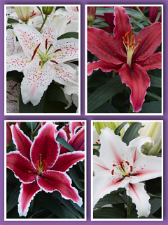 'Candy Cane' Lily Bulb Collection (Pack of 12 Bulbs)