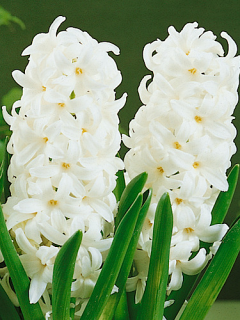 Hyacinth White Pearl (Pack of 6)