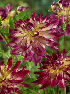 Dahlia 'Zoey Rey' (Pack of 3 Tubers/Bulbs)