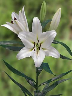 Lily 'Pangea'
