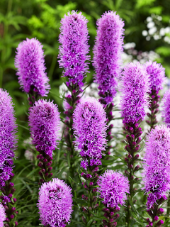 Liatris Spicata (Pack of 10 Bulbs)