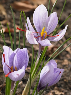Crocus Sativus (Pack of 25 Bulbs)