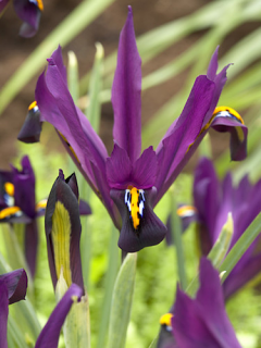 Iris 'JS Dijt' (Pack of 20 Bulbs)