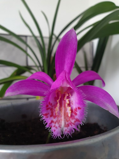 Pleione Formosana (Pack of 3)