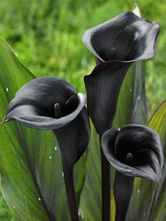 Zantedeschia 'Memories' (Pack of 3 Bulbs)